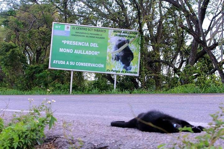 Colonia de mono saraguato reducida a la mitad en un año, por atropellamientos carreteros