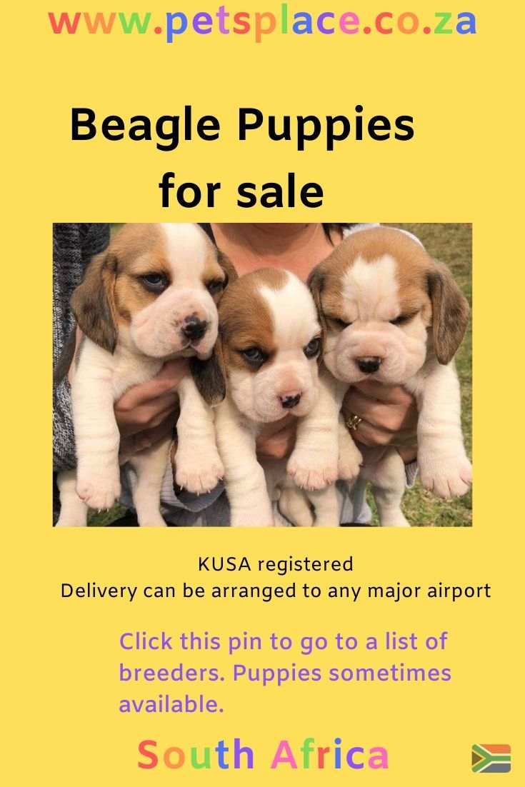 Click The Pin To See A List Of Kusa Registered Beagle Breeders
