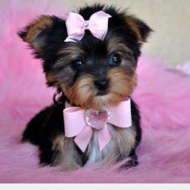 4 Likes 0 Comments Tiffany Bynoe Tiffanybynoeme On Instagram Can T Wait To Get Mine Yorkie Puppy Teacup Yorkie Puppy Yorkie