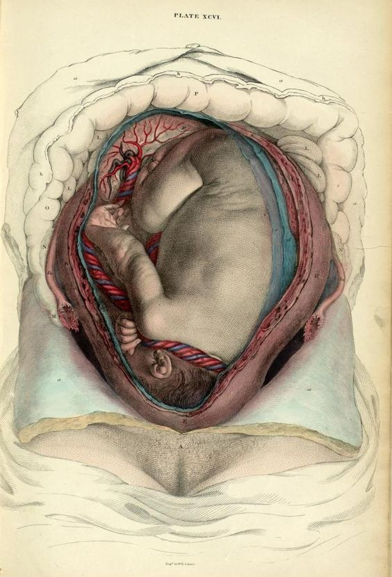 John Lizars Gravid uterus with fetus, in situ' from 'System of anatomical plates, 1825