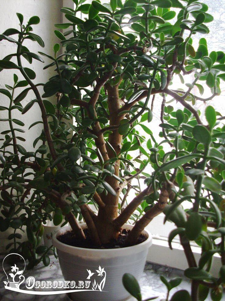 Как поливать денежное дерево. Что делать, мягкие листья опадают, ветки отваливаются, ствол и дерево вянет...