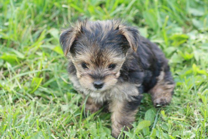Olivers daughter. 5 week old Yorkshire Terrier puppy