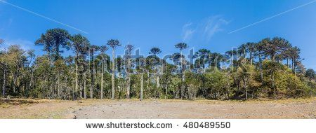 Araucaria forest in National Park Herquehue, Chile. The tree is called Araucaria araucana (commonly: monkey puzzle tree, monkey tail tree, Chilean pine, or pehu�¯�¿�½n)