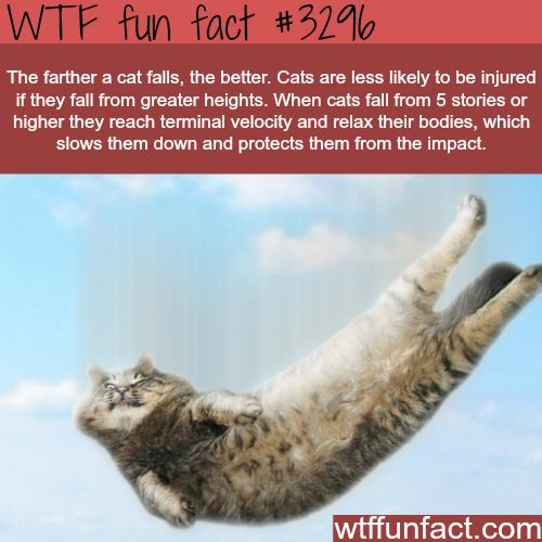 WTF fun fact #3296 ~ Cat fact in regards to falling. #catfacts