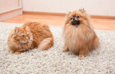 Please contact Absolute Best Carpet Cleaners if you need Pet Urine Removal and Pet Odor Control Services in Sunrise, Tamarac, Margate, Cooper City.