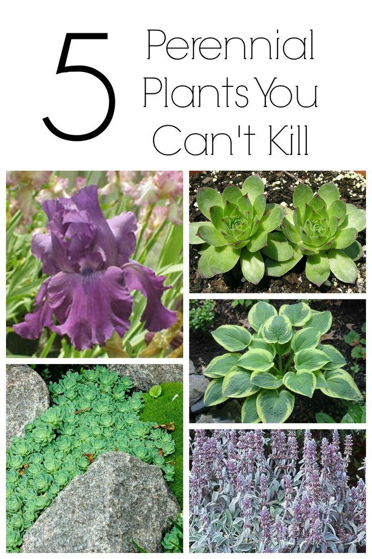 20 best zone 5 perennials images on pinterest gardening flower