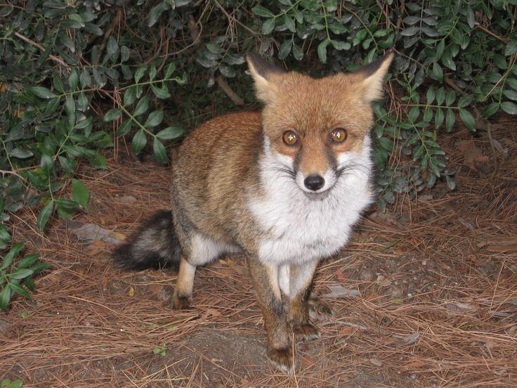 Fox in Maremma, Italy