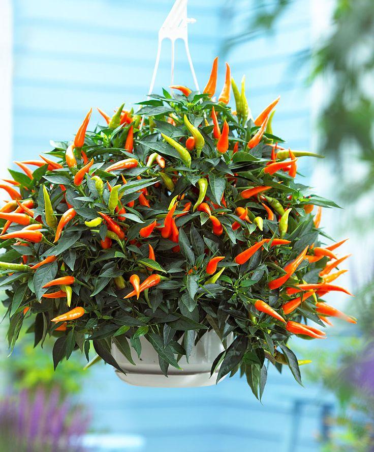 Pepper plant - Plant Capsicum annuum 'Sweet Cascade'®