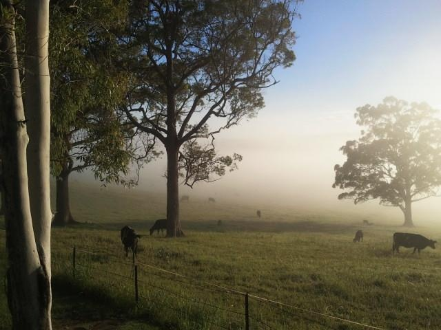 Rural hinterland north west of Coffs Harbour NSW.  Cattle in the morning mist. Wonderful peace and quiet.
