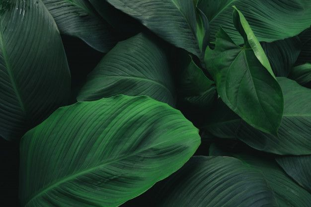 Large Foliage Of Tropical Leaf With Dark Green Texture Abstract