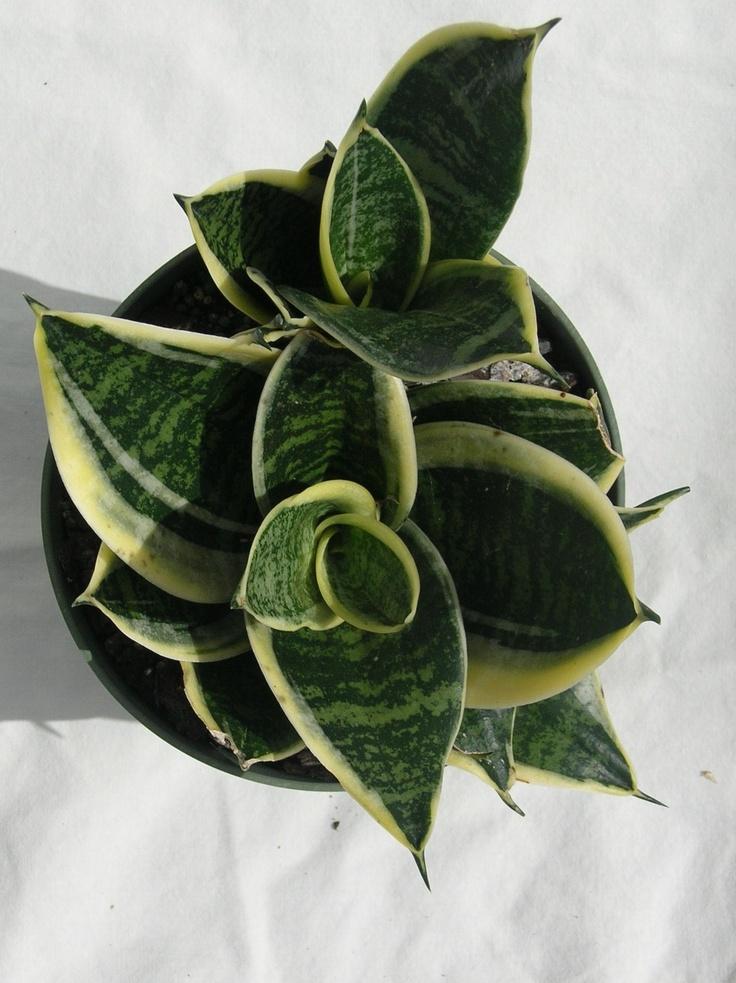 29 best Indoor Plants images on Pinterest | Indoor gardening ...