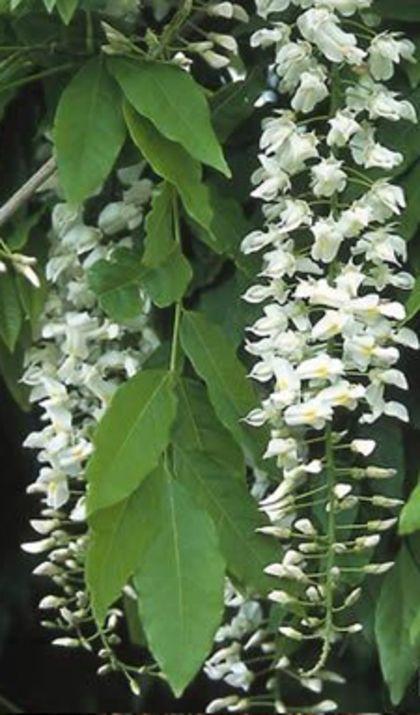 Alba' heeft witte bloemen en wordt ook witteregen genoemd.