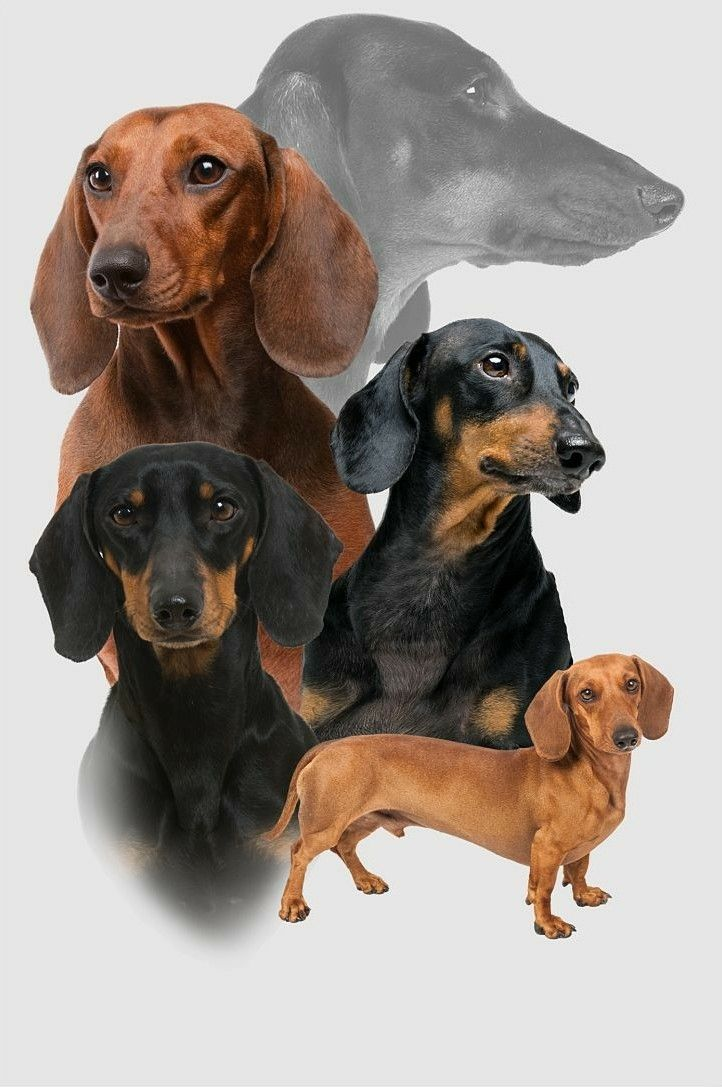 7 Easy Ways To Socialize Your Dachshund Puppy Dachshund Puppies