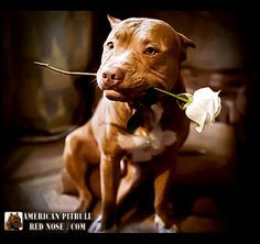 Red Nose Pit bull with a rose for you