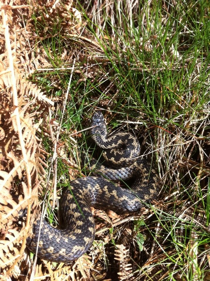 #Adders waking up across #northyorkmoors and our #NYMRangers keep coming across them!
