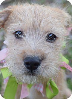 Glastonbury, CT - Schnauzer (Miniature) Mix. Meet Daphne, a puppy for adoption. http://www.adoptapet.com/pet/17255498-glastonbury-connecticut-schnauzer-miniature-mix