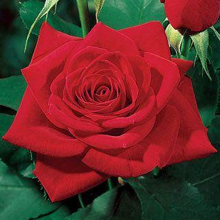 Olympiad Hybrid Tea Rose deep red, 4 ft tall, zones 5-10' disease resistant, LA Olympics flower