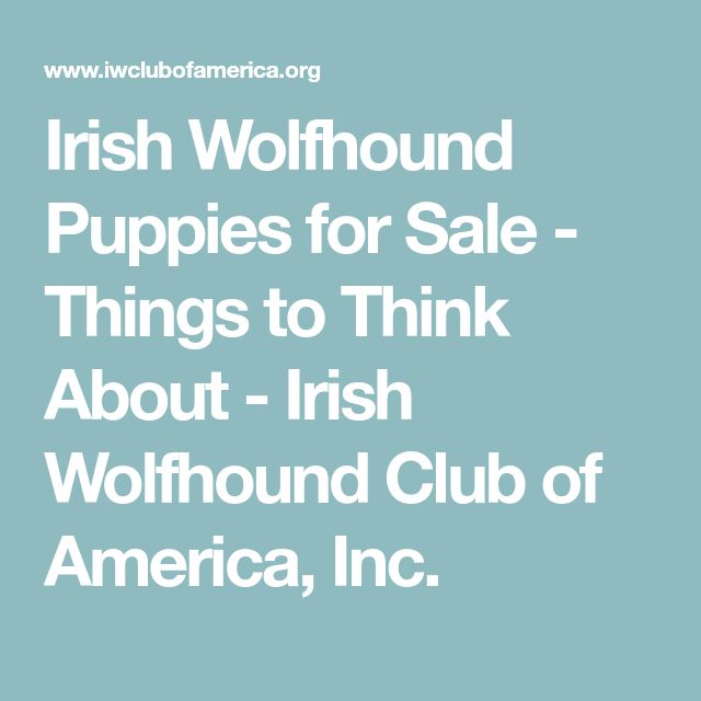 Irish Wolfhound Puppies for Sale - Things to Think About - Irish Wolfhound Club of America, Inc.