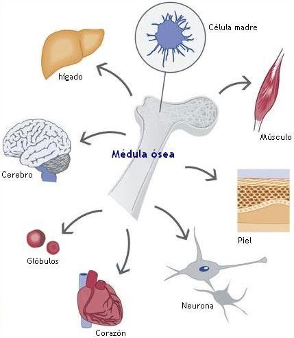 células madre de la medula ósea.