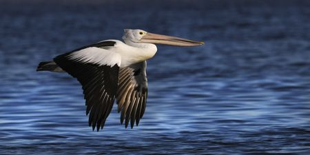 Interior Design and Home Decoration Artwork from Art Australia - buy this original signed print in 3 sizes.  Floating Pelican by David Rennie available via http://www.art-australia.com/floating-pelican-by-david-rennie/