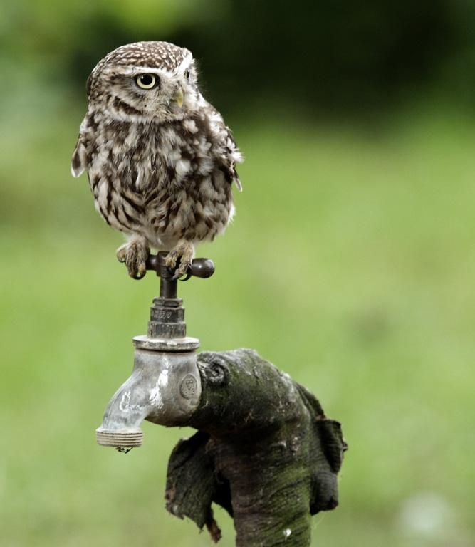 A little owl, I think?