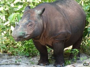 A Sumatran rhinoceros - one of the world's most endangered species - has given birth at a sanctuary in Indonesia.