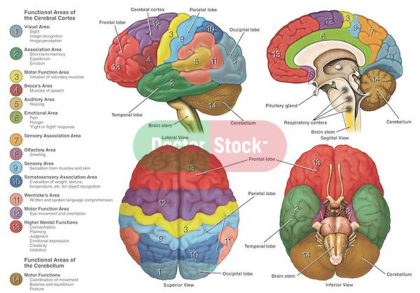 Accurately depicts the brain from four different views using color-coding to show the anatomy and functional areas.  Labels for the cerebral cortex, cerebellum, brainstem, frontal lobes, temporal lobes, parietal lobes, occipital lobes and pituitary gland.  To the left are color-code keys depicting functional areas for vision, association, motor function, Broca's speech, hearing, emotions, sensation, smell, written language, cognition and base motor functions like balance, equilibrium and…