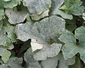 Spray for control of powdery mildew on squash    I have used a solution of milk, baking soda, and liquid dish detergent to effectively control powdery mildew in my own vegetable garden. Here is the spray recipe I use:        Fill the 32 oz  bottle with 1/2 c. of milk.  Add 2 T. of baking soda. Fill sprayer with water & add one drop of liquid dish detergent.  Mix contents well