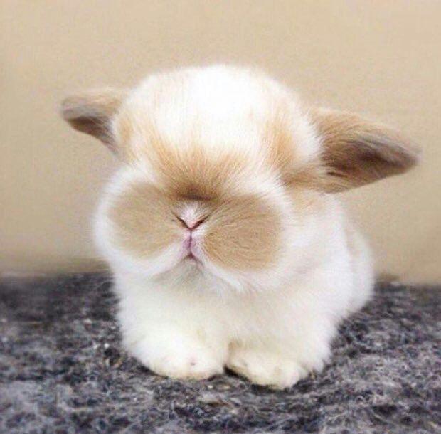 1457 best Beautiful bunnies images on Pinterest Bunnies, Animal - resume rabbit cost