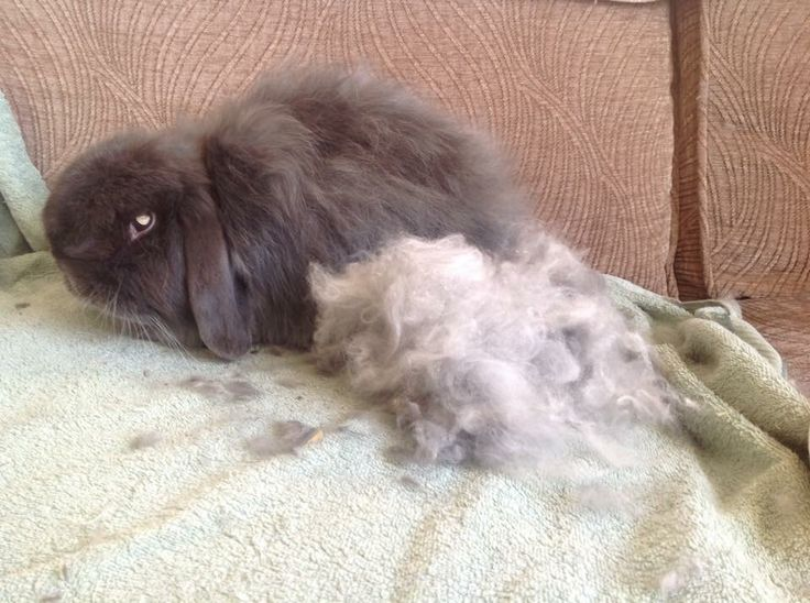 Rabbits need weekly grooming to help with their moulting fur.