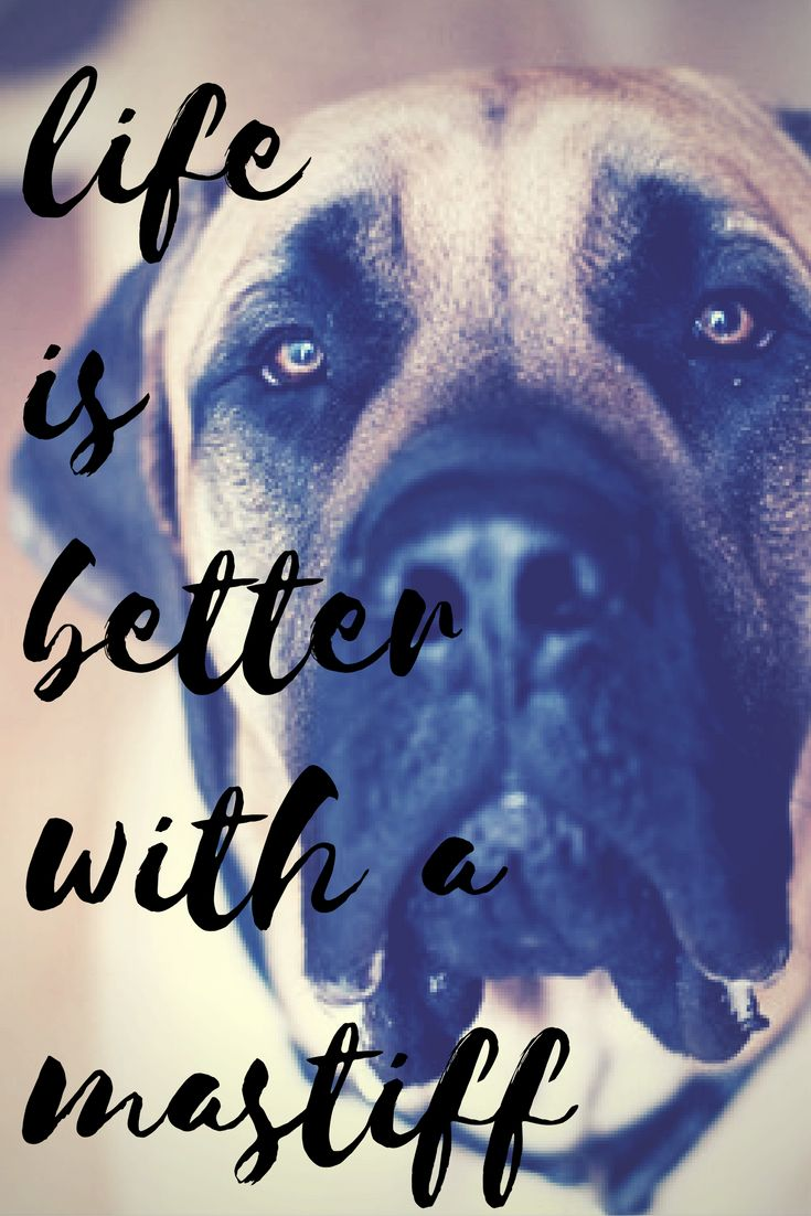 See more at https://mypupboutique.com/collections/mastiff  #Mastiff