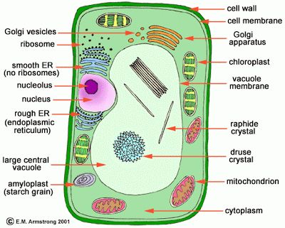 Just so: Plant Cell Pizza - It's what's for dinner