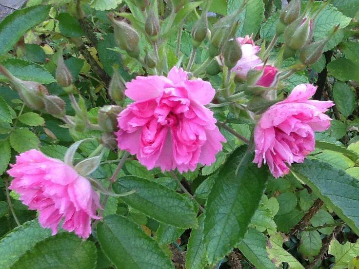 Neilikkaruusu, vaaleanpunainen