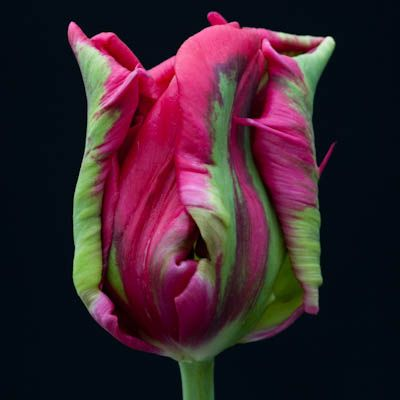 This is another unusual, rarely available parrot tulip. A sport of T.'Air' it is a darker, slightly redder shade of pink, with green and maroon markings