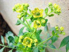 Usos Medicinales de la Ruda [Planta Curativa] - Taringa!