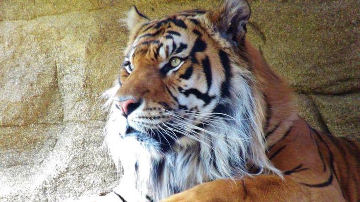 Tiger in London zoo