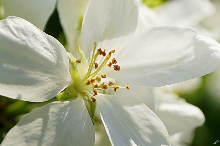 an apple blossom
