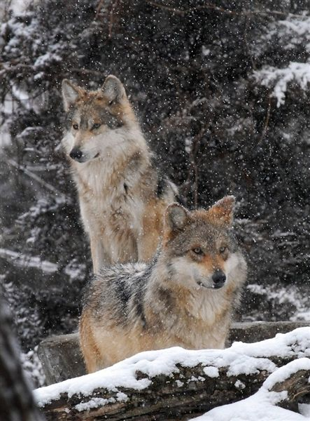 17 best images about pictures of wolves and eagles on