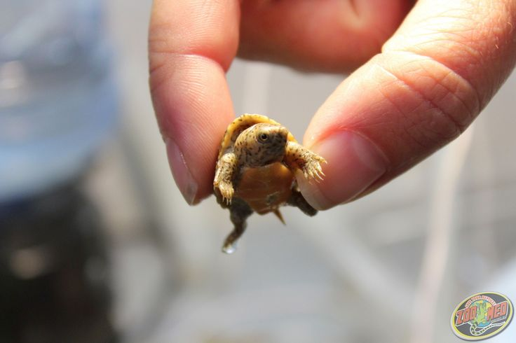 Check out our new baby Musk Turtle here at Zoo Med Labs! (hatched May 31, 2013)