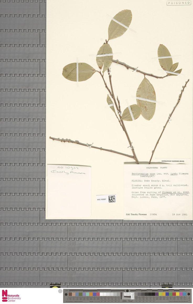 WAG.1930897 | Erythroxylum coca Lam. var. ipadu Plowman