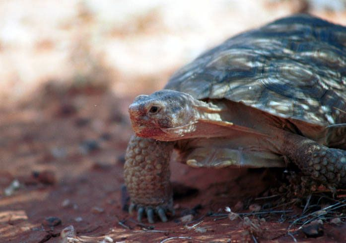 5 Fascinating Facts about the Desert Tortoise