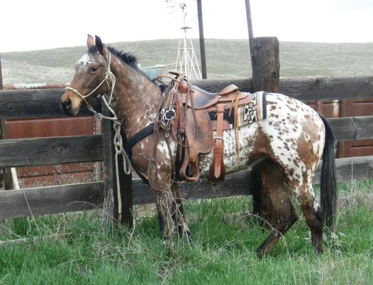 Appaloosa Horse: Appaloosa Horses, Saddle, Favorite Breed, Horse Breeds, Horses ️, Horses Speak, Horses Dolphins
