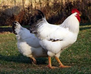 Delawares are a fairly heavy-bodied, white (silver) bird with black markings.
