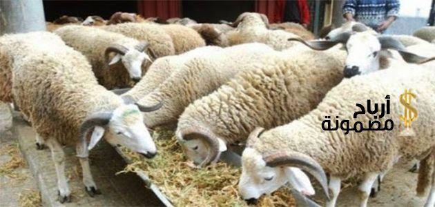تربية الاغنام من الالف الى الياء حيث يعد مشروع تربية الأغنام من المشروعات الناجحة والمربحة جد ا في كل مكان وفي أي وقت وهي تعتبر من أقدم الم Animals Lamb Goats