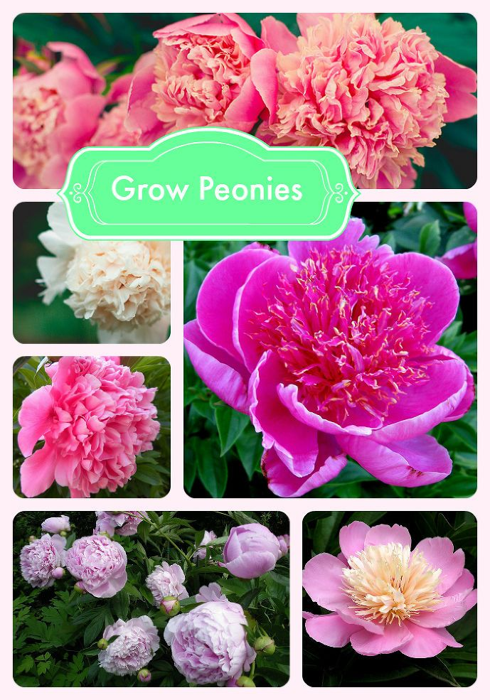 Fill a garden bed with lush, hardy peonies.