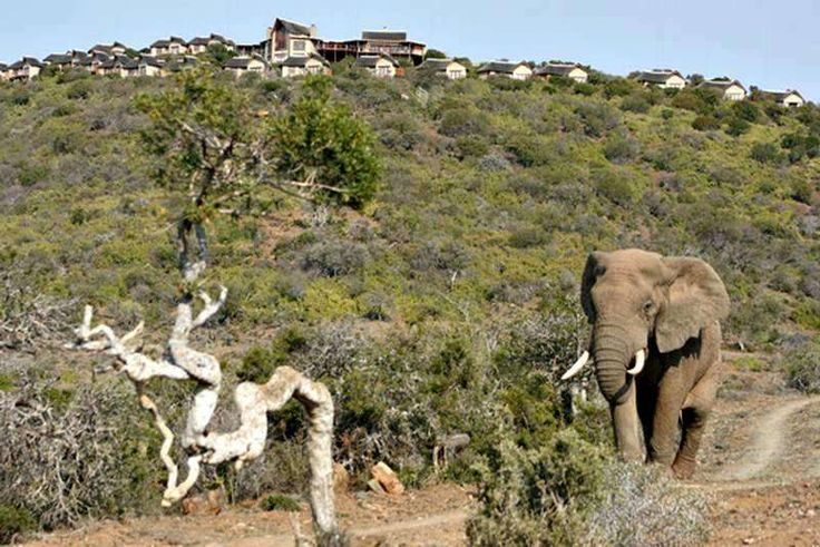 #6 of #365reasonstovisitAfrica - Addo Elephant National Park, third largest game park in South Africa. With hundreds of elephants roaming freely and undisturbed. Kuzuko Lodge offers more with cheetah walks, Khoisan rock paintings and kids activity programmes - https://www.afritrip.com/kuzuko-lodge/ Follow our #365reasonstovisitAfrica