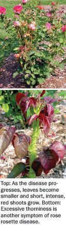 "Rose Rosette Disease Control, Symptoms, & Prevention: Rose rosette is spreading across the country, but work is underway to stop it. ""Hope on the horizon"" article from Nursery Management magazine. #roses #gardening #disease #plants #gardens #flowers #planthealth #plantdisease"