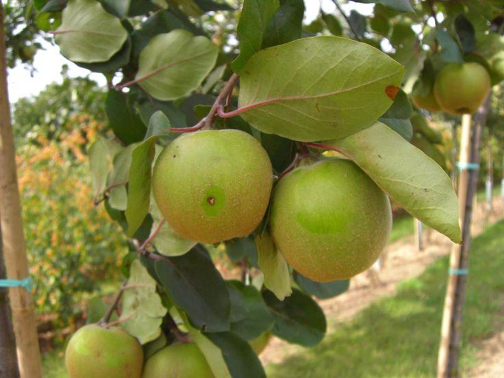 Konstantinopler Apfelquitte großer Baum kaufen