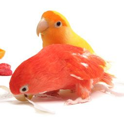 Knowing your pet bird's gender can tell you more about your bird than simply what to name it.