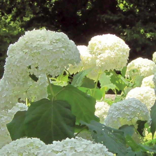 L'Hortensia Incrediball, un arbuste donnant des grosses boules de couleur blanche